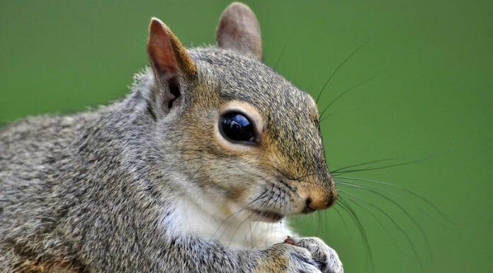 Squirrel conspiring
