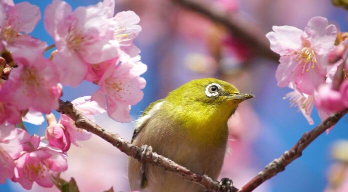 Close-up of Mejiro (Japanese White-Eye) bird sitting in Cherry blossom tree (sakura)