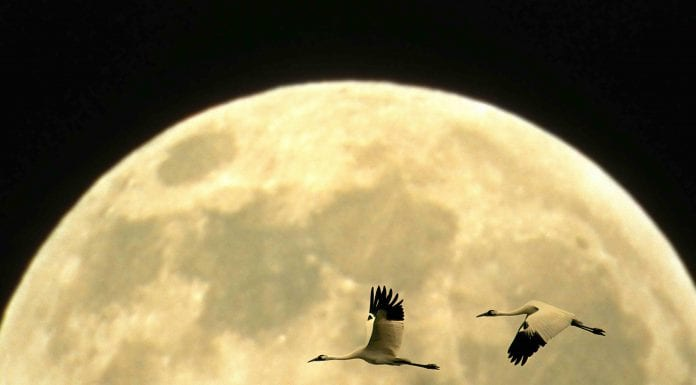 It's mating season for whooping cranes. Can we get a whoop whoop? (Photo: Prisma by Dukas Presseagentur GmbH / Alamy)