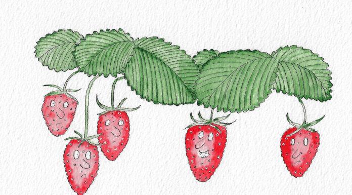 Roberts strawberries