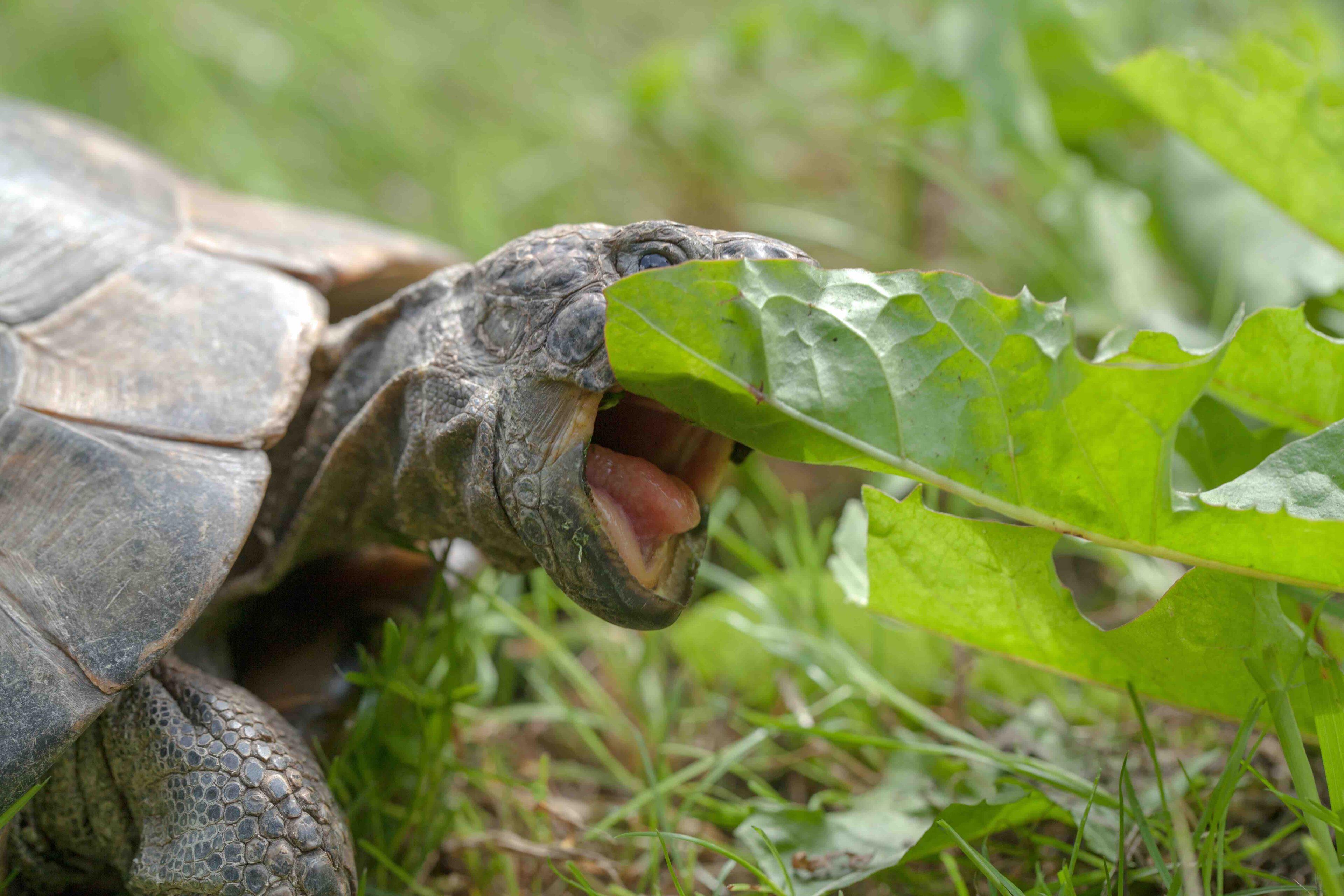 turtle eat dandelion chomp leaf